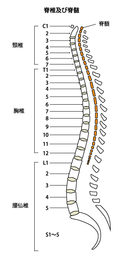 脊椎及び脊髄